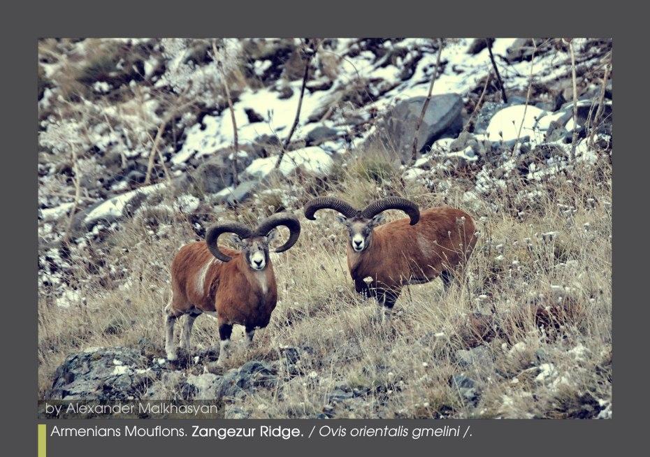 Armenian Mouflon (Ovis orientalis gmelini). Zangezur Ridge - Armenia.